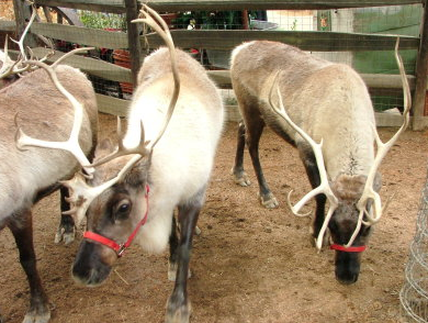 Malibu Country Mart's Winter Wonderland Event With Live Reindeer