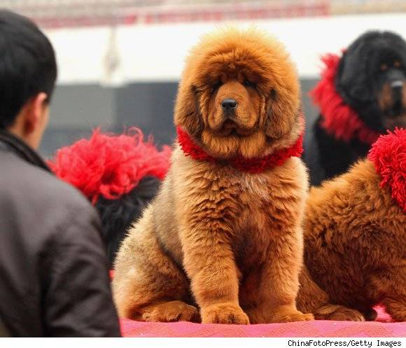 World's Most Expensive Dog Sells For $1.5 Million