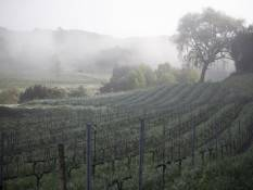 A misty day at a central coast vineyard.