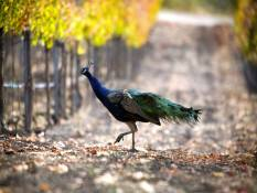 Feral Peacock in Vineyard