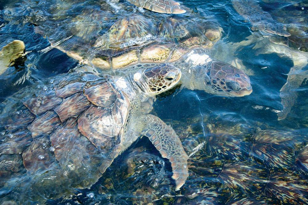Cayman-Turtle-Farm2-Image-property-of-the-Cayman-Islands-Department-of-Tourism